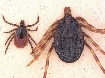 Pathogens: Dangerous tick species showed up in Germany, now