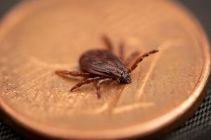 Danger for dogs and humans: the Brown dog tick spreads in Germany