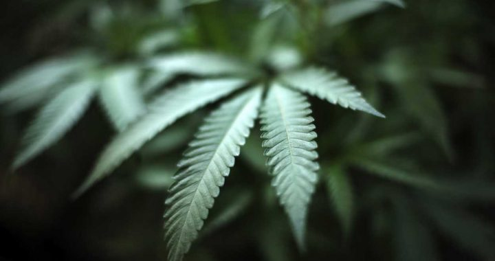 DOJ moves to add more marijuana growers for research