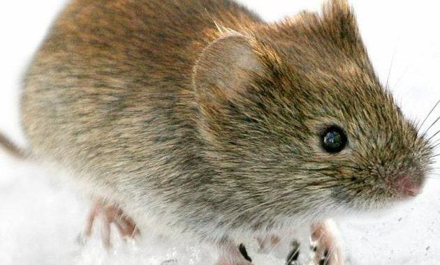 Transfer of Rötelmaus: Hantavirus spreads in the Bavarian forest