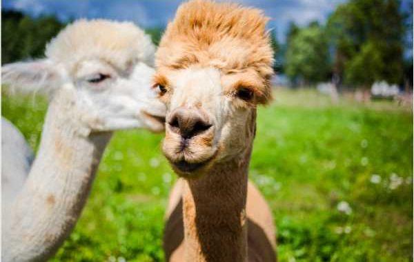 Alpaca nanobodies effective against South African SARS-CoV-2 variant