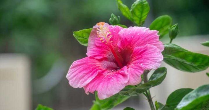 Here's What A Hibiscus Tattoo Really Means